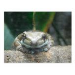 Amazon Milk Frog Postcard