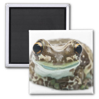 Amazon Milk Frog - Trachycephalus resinifictrix 2 Inch Square Magnet