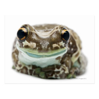 Amazon Milk Frog - Trachycephalus Resinifictrix Postcard