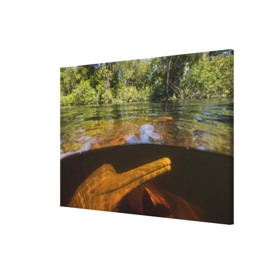 Amazon River Dolphins (Inia geoffrensis) Ariau Canvas Print
