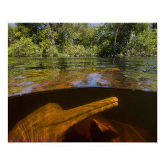 Amazon River Dolphins (Inia geoffrensis) Ariau Poster