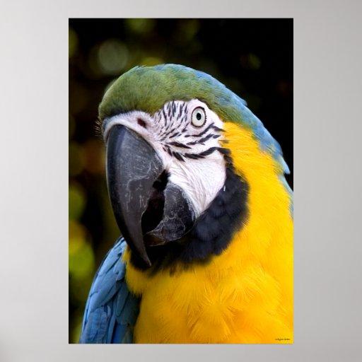 Amazonian Parrot Portrait Posters