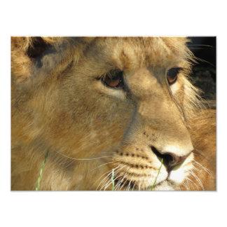 AMBER EYES - LION CUB PHOTOGRAPH
