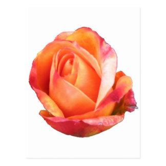 Amber Sunblaze Miniature Rose Postcard