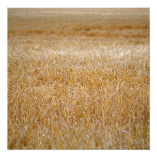 Amber Waves of Grain Poster