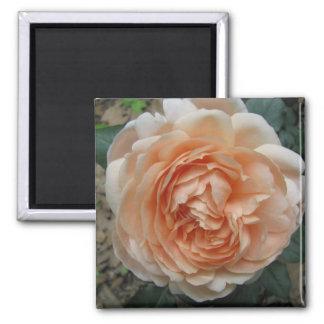 Ambridge Rose in Full Bloom 2 Inch Square Magnet