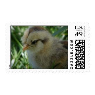 Ameraucana Chick Postage