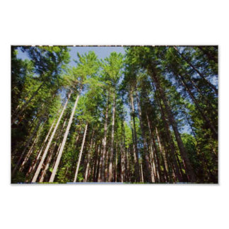 America Tree Line Olympic National Park tall trees Poster