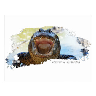 American Alligator 01 Postcard