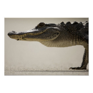 American Alligator, Alligator Poster