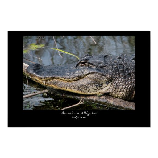 American Alligator Close-up Poster