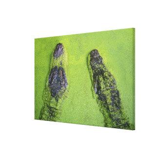 American alligator found throughout Florida Canvas Print