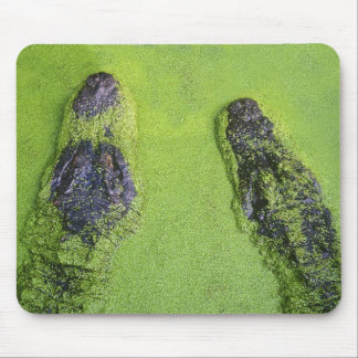 American alligator found throughout Florida Mouse Pad