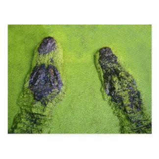 American alligator found throughout Florida Postcard