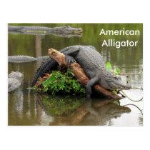 American Alligator - Learning Postcard