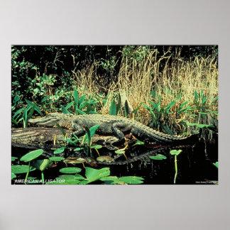 American Alligator Print
