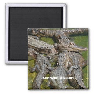 American Alligators 2 Inch Square Magnet