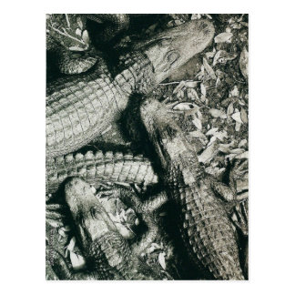 American Alligators in Sepia Tone Postcard