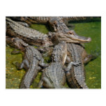 american alligators postcard