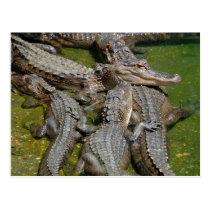 american alligators postcard