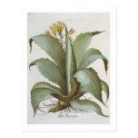 American Aloe: Aloe Americana, from the 'Hortus Ey Postcard