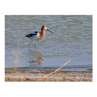 American Avocet Collection Postcard