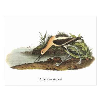 American Avocet, John James Audubon Postcard