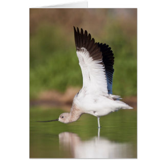 American Avocet stretch Greeting Card