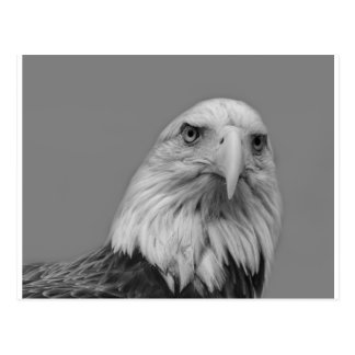 American Bald Eage Post Card
