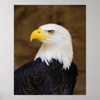 American Bald Eagle Haliaeetus Leucocephalus Poster