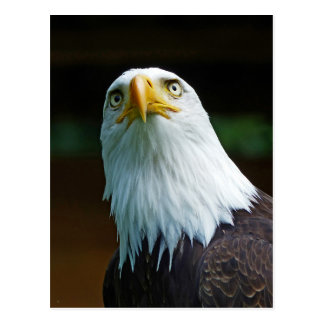 American Bald Eagle Head Postcard
