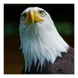 American Bald Eagle Head Poster