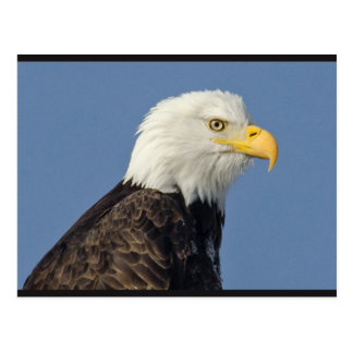 American Bald Eagle II Postcard