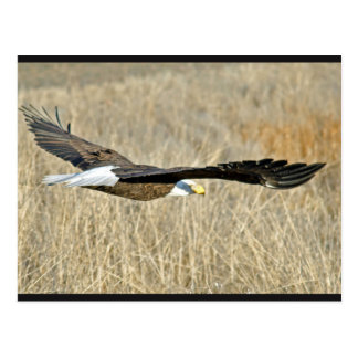 American Bald Eagle III Postcard