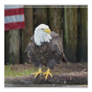American Bald Eagle Perched on a Log Posters