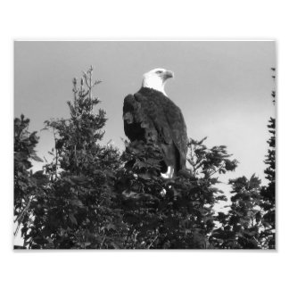 American Bald Eagle Photo Print BW