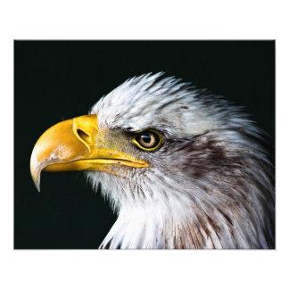 American bald eagle photo print