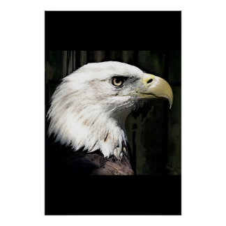 American Bald Eagle Poster Print Eagles Posters