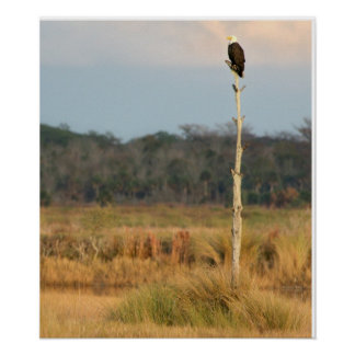 American Bald Eagle Posters