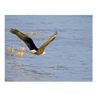 American Bald Eagle VI Postcard
