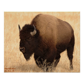 American Bison #1 Posters