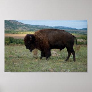 American Bison (Bison bison) - Wichita Poster