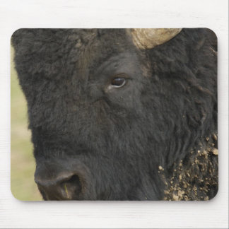 American Bison 'Buffalo' Bison bison), male, Mouse Pad