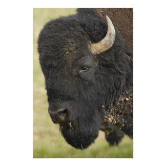 American Bison 'Buffalo' Bison bison), male, Art Photo