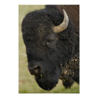 American Bison 'Buffalo' Bison bison), male, Print
