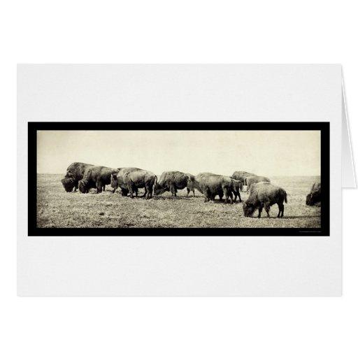 American Bison Buffalo Photo 1906 Greeting Card