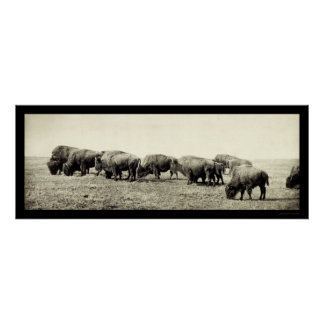 American Bison Buffalo Photo 1906 Poster