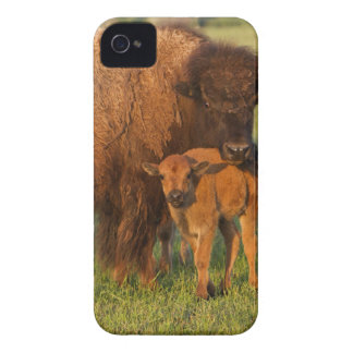 American Bison cow and calf, North Dakota iPhone 4 Case-Mate Case