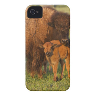 American Bison cow and calf, North Dakota iPhone 4 Cases