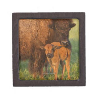 American Bison cow and calf, North Dakota Gift Box